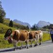 Il magico rito della Transumanza all'Alpe di Siusi!